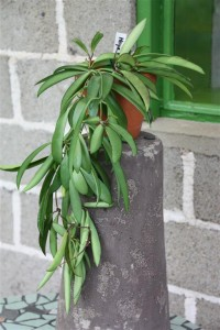 Hoya kentiana (Medium)